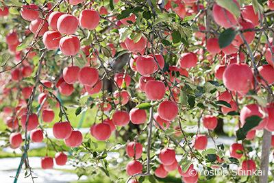 リンゴ2.jpg