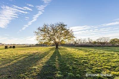 桑の木の朝.jpg