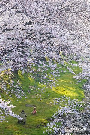 桜 1.jpg