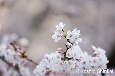 桜 2.jpg