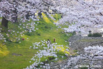 桜 4.jpg
