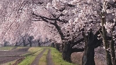 桜の道%0A.jpg