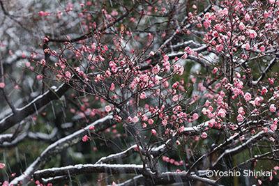梅の花と雪.jpg