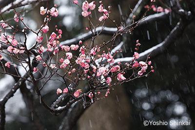 梅の花と雪2.jpg
