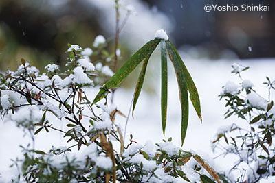 笹と雪.jpg