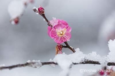 紅梅と雪.jpg
