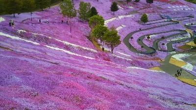 芝桜2-400x225.jpg