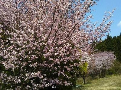 IMG_山桜-400x300.jpg
