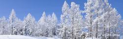 カラマツ林の雪景色.jpg