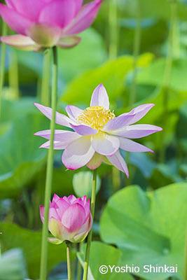 ハスの花1.jpg