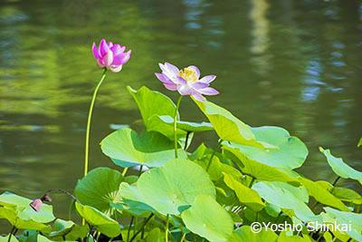 ハスの花3.jpg