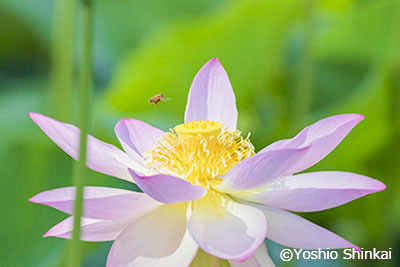 ハスの花5.jpg