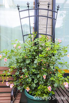 バラと椅子.jpg