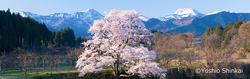 向野の桜.jpg