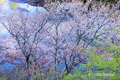山桜咲く川辺.jpg