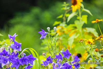 桔梗の花.jpg