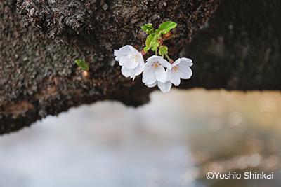 桜 3.jpg