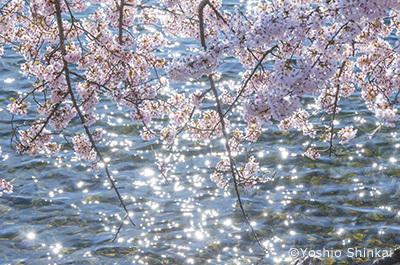 桜と水面.jpg
