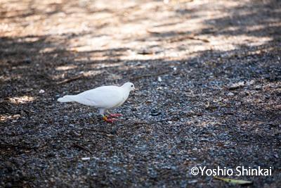 白い鳩-1.jpg