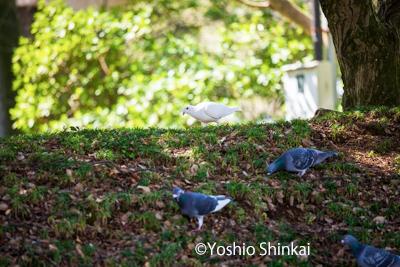 白い鳩-2.jpg
