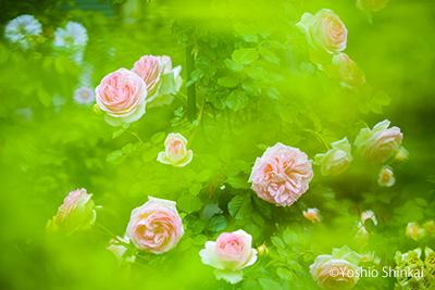 緑とバラ.jpg