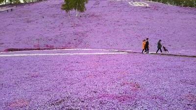 芝桜1-400x225.jpg