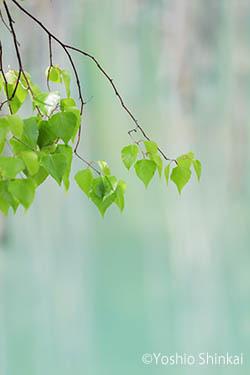若い葉と青池.jpg